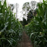 Cricklewood Farm Corn Maze
