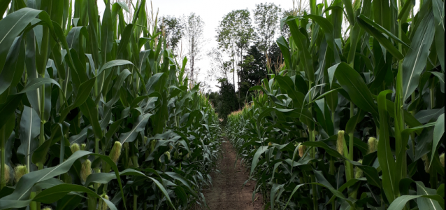 Cricklewood Farm, Orchard & Corn Maze