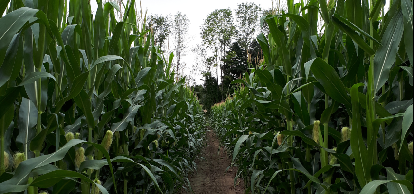 Cricklewood Farm Corn Maze