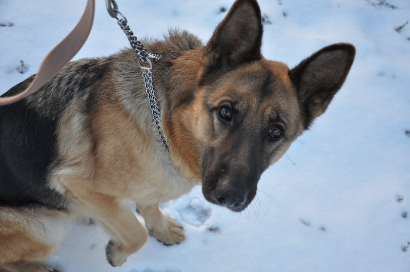 Training your German Shepherd with Training Collars