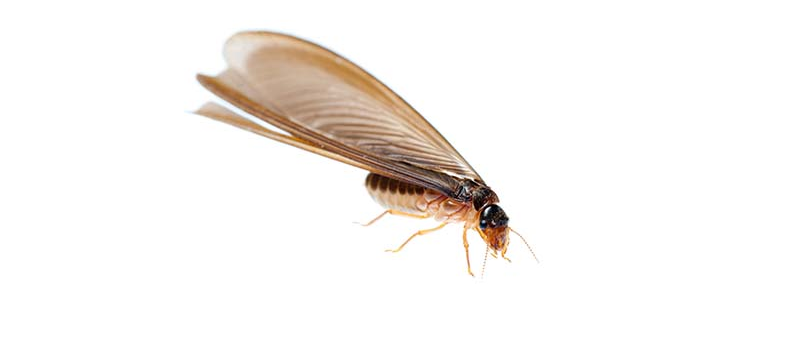 All-Natural Ways to Eliminate Termites